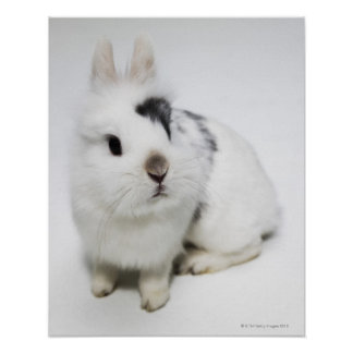 White, black and brown rabbit poster