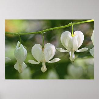 White Bleeding Hearts Flowers Poster
