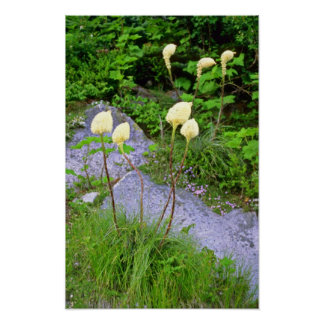 White Blooming Bear Grass flowers Print