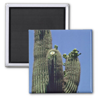 White Blooms On Saguaro Cactus flowers Refrigerator Magnets