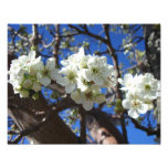 White Blossom Clusters Spring Flowering Pear Tree Photo Print