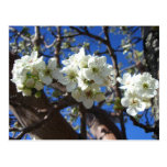 White Blossom Clusters Spring Flowering Pear Tree Postcard