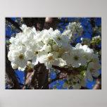White Blossoms II Spring Flowering Tree Poster