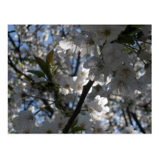 White blossoms postcard