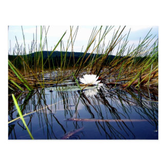 White Bog Lilly Pad Postcard