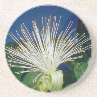 white Bombax Pachira aquatica flowers Beverage Coasters