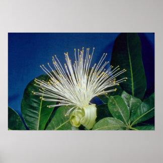 white Bombax Pachira aquatica flowers Print