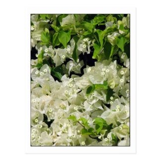 White Bougainvillea Postcard
