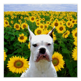 White Boxer dog in sunflowers canvas print