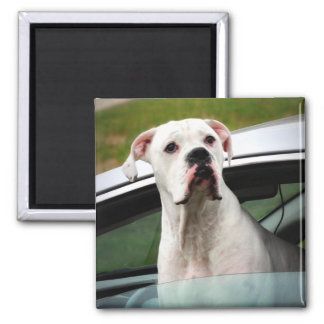 White Boxer in a Car 2 Inch Square Magnet