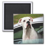 White Boxer in a Car Magnet