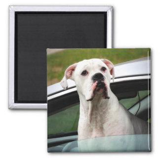 White Boxer in a Car Fridge Magnet