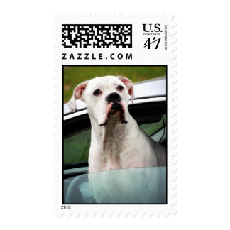 White Boxer in a Car Postage