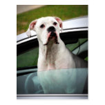 White Boxer in a Car Postcard
