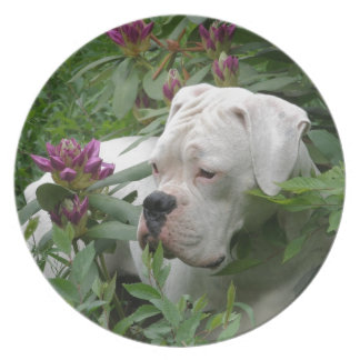 White Boxer in Pink Rhodies Party Plates
