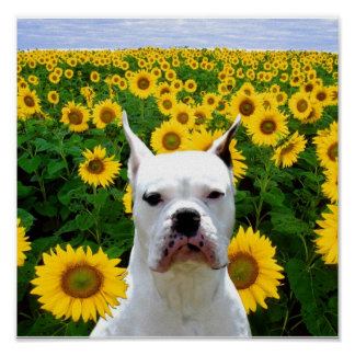 White Boxer in sunflowers poster