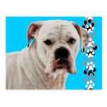 White Boxer Photo Postcard