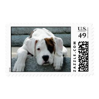 White Boxer Puppy Postage