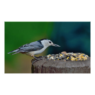 White-breasted nuthatch bird poster
