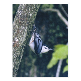 white breasted nuthatch field Guide Card