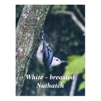 White - breasted Nuthatch Postcard