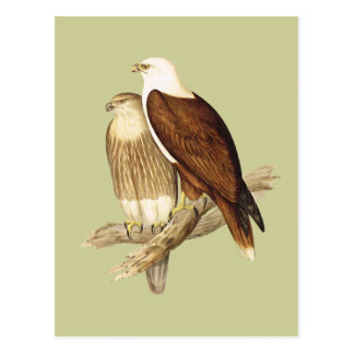 White Breasted Sea Eagle. Large Bird of Prey. Postcard