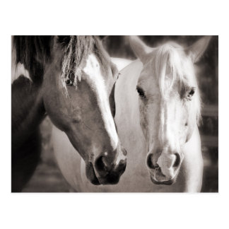 White Brown Horses Sepia Horse Postcard