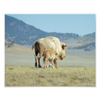 White Buffalo and Calf 8x10 Photo Print