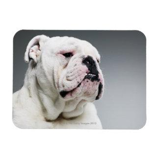 White Bull dog Magnet