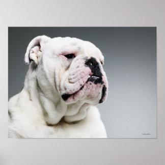 White Bull dog Poster
