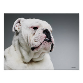 White Bull dog Posters