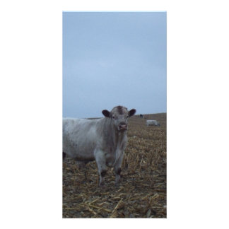 White Bull in a newly harvested Iowa Corn Field Card