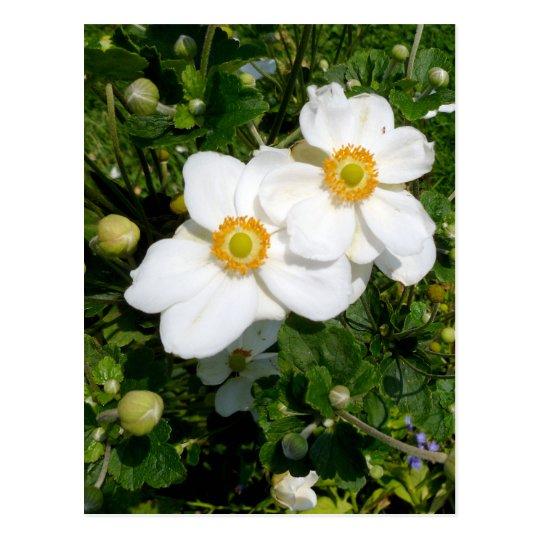 White Bush Anemone flowers Postcard