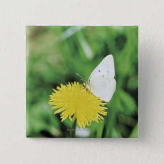 White butterfly feeding on a dandelion button