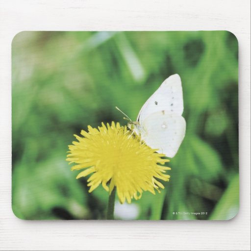 White butterfly feeding on a dandelion mouse pads
