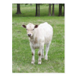 White Calf Post Card