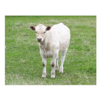 White Calf Postcard