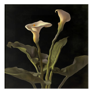 White Calla Lilies On A Black Background Acrylic Print