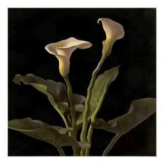 White Calla Lilies On A Black Background Poster