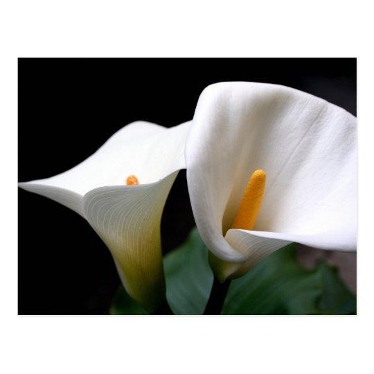 White Calla Lily Flower Postcard Zazzle Com