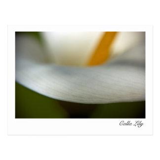 White Calla Lily   Weisse Calla Postcard