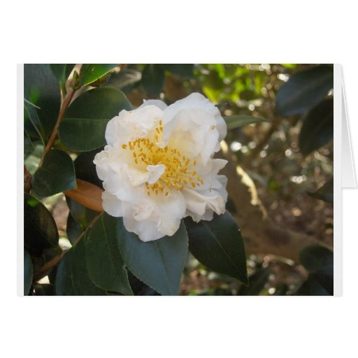 white camellia greeting card