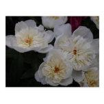 White Camellia Post Card