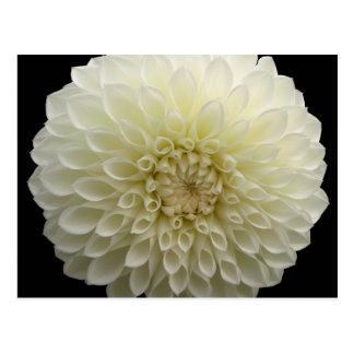 White Carnation Postcard