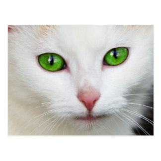 White Cat with Green Eyes Postcard
