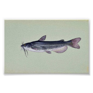 White catfish poster