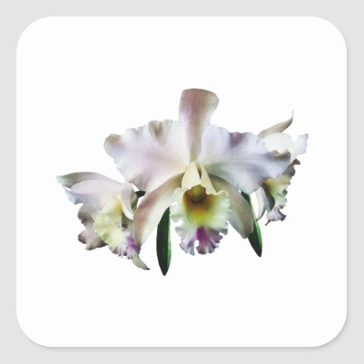 White Cattleya Orchids Sticker