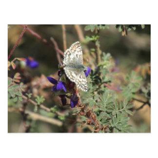 White Checkered Skipper Butterfly Postcard