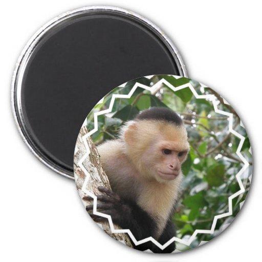 White Cheeked Capuchin Monkey  Magnet Refrigerator Magnets