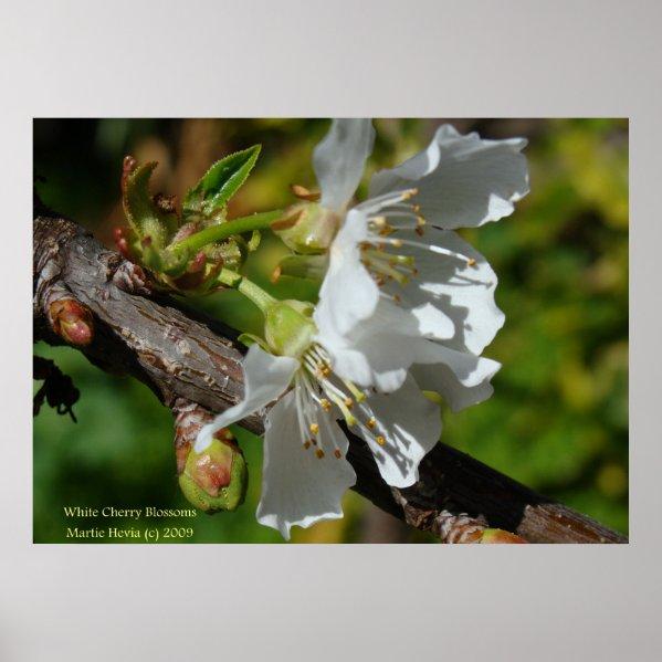 White Cherry Blossom Posters